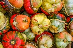 Autumn Harvest Of Pumpkins. Pumpkin Fruits Of The Turkish Turban Variety. Royalty Free Stock Images
