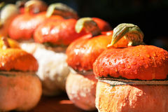 Autumn. Harvest of pumpkins. Stock Image