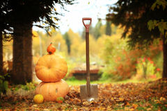 Autumn harvest of pumpkins halloween Royalty Free Stock Photography