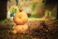 Autumn harvest of pumpkins halloween Stock Photography