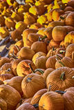 Autumn Harvest 3. Pumpkins, like other squash, are native to North America. Pumpkins are widely grown for commercial use, and are used both in food and Royalty Free Stock Photography