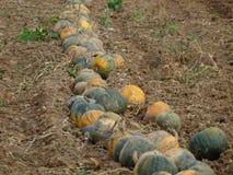 Autumn harvest of pumpkins, Niederösterreich Stock Image