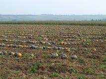 Autumn harvest of pumpkins, Niederösterreich Royalty Free Stock Photography