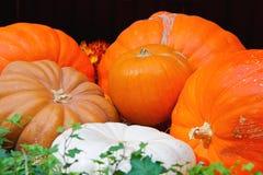 Autumn harvest of pumpkins Royalty Free Stock Photos