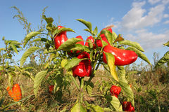Autumn harvest of red peppers. Close peppers growing in the gard. En on the farm Royalty Free Stock Photography