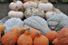 Autumn harvest or ripe multi-colored pumpkins of various sizes stock photo