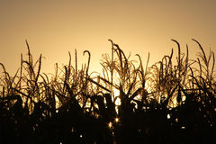 Autumn harvest at sunset. Autumn corn harvest backlit by the setting sun Stock Image
