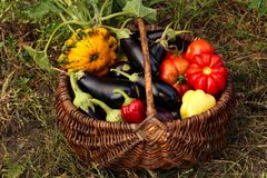 Autumn harvest of vegetables in a basket on the garden. Tomatoes, eggplants, patissons and bell peppers stock photography