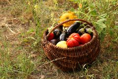Autumn harvest of vegetables in a basket on the garden. Tomatoes, eggplants, patissons and bell peppers stock photo