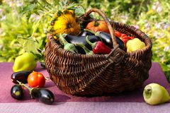 Autumn harvest of vegetables in a basket on the garden. Tomatoes, eggplants, patissons and bell peppers. Some vegetables are on the table stock images