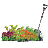 Autumn harvest vegetables on the grass and shovel Stock Photos