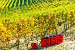 Autumn harvest -  vineyards of Piemonte, Italy Stock Photography