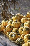Autumn Harvested Carnival Squash stock photography