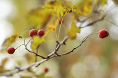 Autumn haw Stock Photography