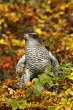 Autumn hawk Stock Images