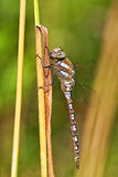 Autumn Hawker - Aeshna mixta Royalty Free Stock Photos