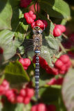 Autumn Hawker - Common spindle bush Stock Photography