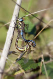 Autumn Hawker - pairing Royalty Free Stock Photography