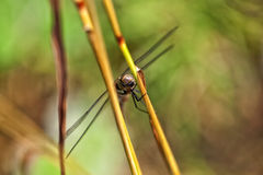 Autumn Hawker - top view Royalty Free Stock Image