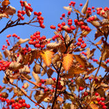 Autumn hawthorn berries Royalty Free Stock Photography