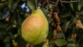 Pear. Autumn is heare and the pears are ready to be gathered royalty free stock image
