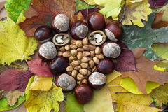 Autumn heart of horse-chestnuts, walnuts and hazelnuts Stock Image