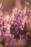 Autumn heather Royalty Free Stock Photography