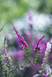 Autumn heather with bokeh Stock Photography