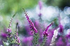 Autumn heather with bokeh Royalty Free Stock Photo