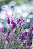 Autumn heather with bokeh Royalty Free Stock Images