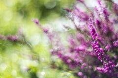 Autumn heather with bokeh Royalty Free Stock Photos