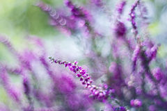 Autumn heather with bokeh Royalty Free Stock Image