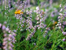 Autumn heather flowers royalty free stock photography