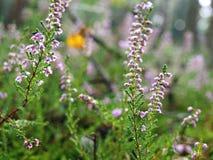 Autumn heather flowers royalty free stock image