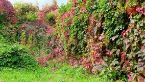 Free Autumn Hedge Overgrown With Virginia Creeper, With Green And Red Leaves Against The Blue Sky. Close Up Stock Photo - 198141940