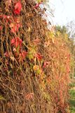 Autumn a hedge of vines Stock Image