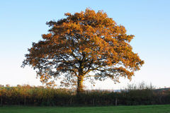 Autumn Hedgerow Oak Stock Photo