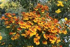 Autumn helenium. A flower bed with garden flowers autumn helenium, orange yellow Royalty Free Stock Image