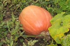 Autumn helloween pumpkin Stock Photography
