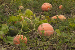 Autumn helloween pumpkin Royalty Free Stock Photo