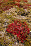 Autumn highland plants background in Norway Gamle Strynefjellsve Stock Photography