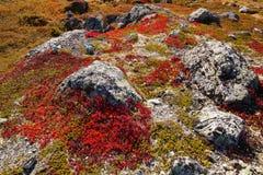 Autumn highland plants background in Norway Gamle Strynefjellsve Stock Image