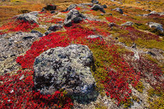 Autumn highland plants background in Norway Gamle Strynefjellsve Royalty Free Stock Image
