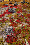 Autumn highland plants background in Norway Gamle Strynefjellsve Stock Photos