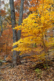 Autumn hiking trail. Autumn forest with yellow maple trees and colorful foliage in hiking trail, Toronto Royalty Free Stock Photography