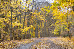 Autumn hiking trail. Autumn forest with yellow maple trees and colorful foliage in hiking trail, Toronto Stock Photography