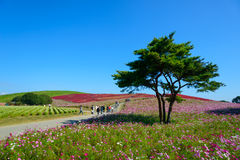 Autumn in Hitachi Seaside Park. In Hitachinaka, Ibaraki, Japan Royalty Free Stock Images
