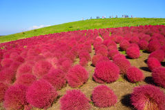 Autumn in Hitachi Seaside Park Royalty Free Stock Photos