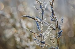 FROSTY MORNING. Autumn hoarfrost on dry grass Stock Photos