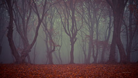 Autumn through the Hoia-Baciu forest. A blanket of colored leaves was sat at the feet of the old trees in the Hoia-Baciu forest from Romania, near Cluj-Napoca Stock Images